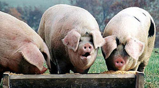 Pigs_trough